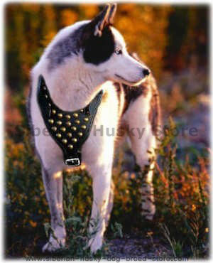 http://www.siberian-husky-dog-breed-store.com/images/Akita-Inu-Siberian-Husky-dog-harnesses-with-handle-click-here.jpg