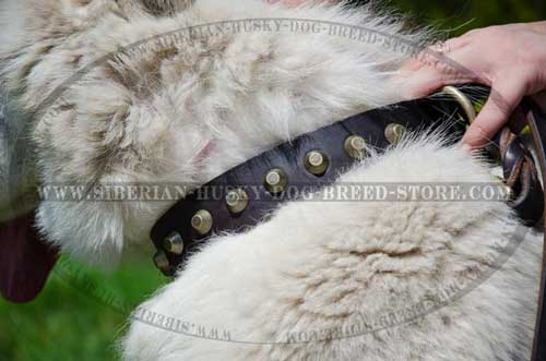 Fashion collar for Siberian Husky walking