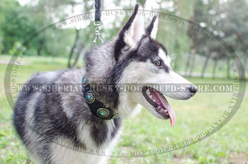 Fashion dog collar for Husky incrusted with blue stones