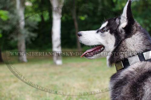 Fashion dog collar for Siberian Husky made of nylon