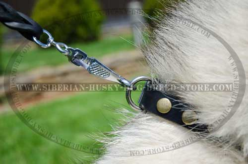 Designer nickel plated fittings of leather Siberian Husky collar