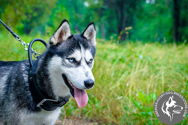 Siberian Husky collar for agitation training