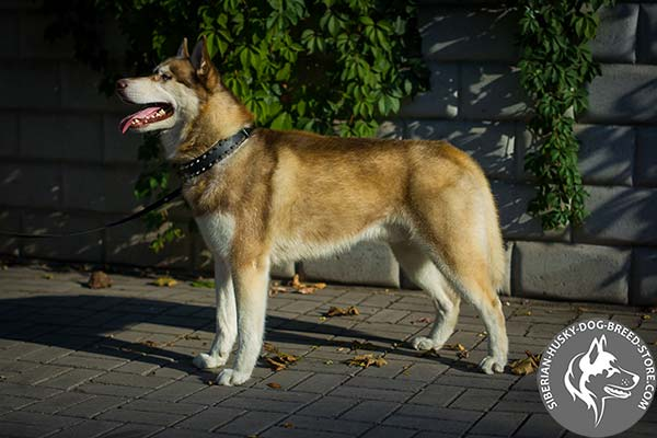 Siberian Husky dependable collar for daily walking