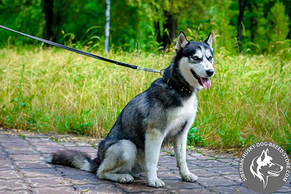 Siberian Husky collar for active dogs handling