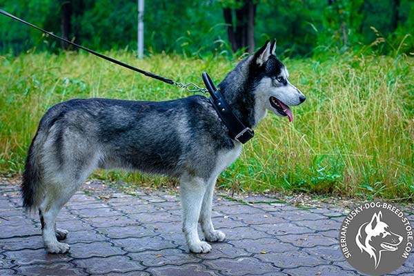 Full control Siberian Husky leather collar