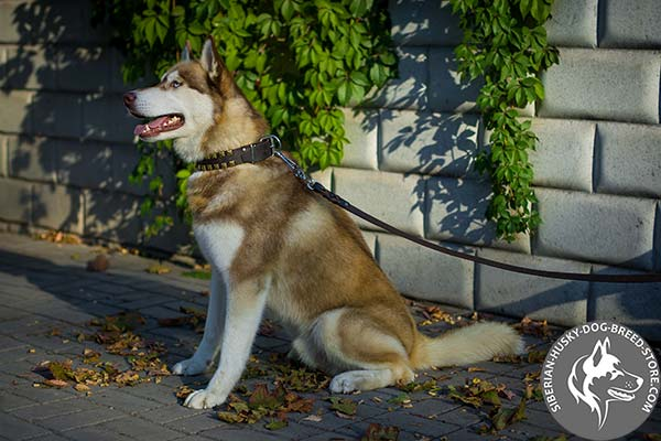 Siberian Husky full grain genuine leather collar
