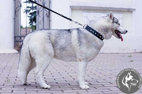 Siberian Husky leather collar with nickel-plated hardware