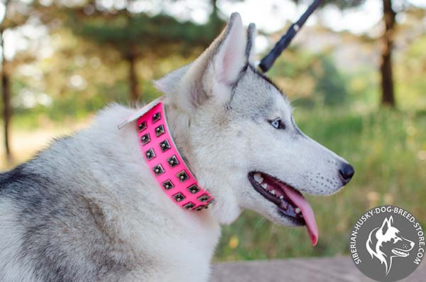 Siberian Husky collar with nickel-plated studs