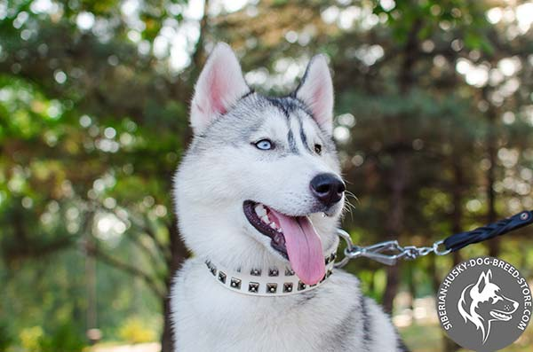 Siberian Husky collar with old nickel studs
