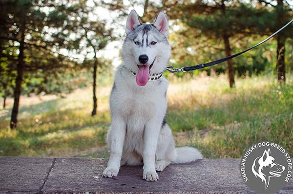 Siberian Husky walking leather collar