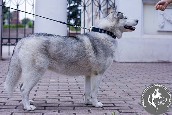 Siberian Husky natural leather collar with silverish plates