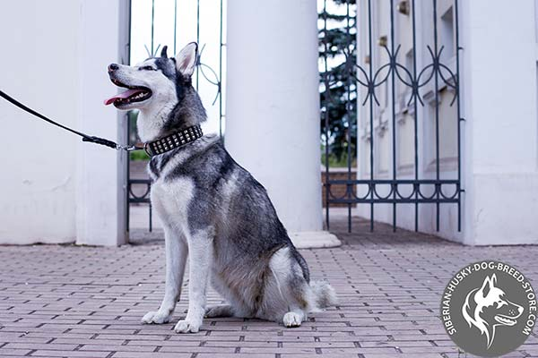 Siberian Husky collar with silverish pyramids