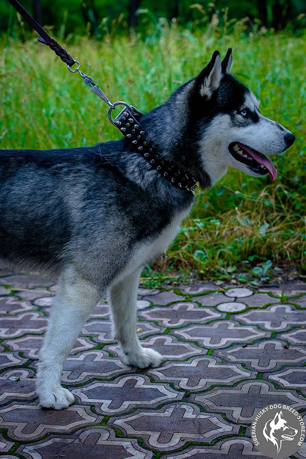 Siberian Husky leather collar with nickel spikes and brass half-spheres