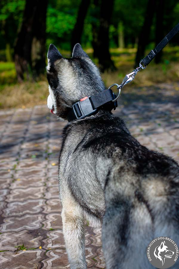 Siberian Husky collar with D-ring for leash attachment
