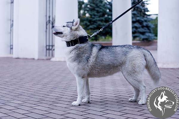 Siberian Husky black leather collar of classic design with d-ring for leash attachment for improved control