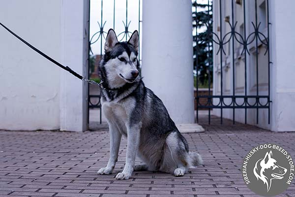 Siberian Husky black leather collar with rustless fittings for professional use