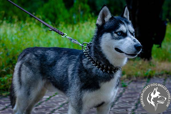 Siberian Husky black leather collar with reliable hardware for professional use