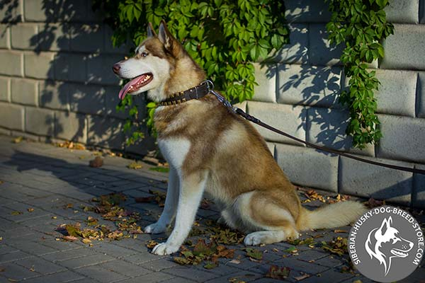 Siberian Husky black leather collar with reliable hardware for daily activity