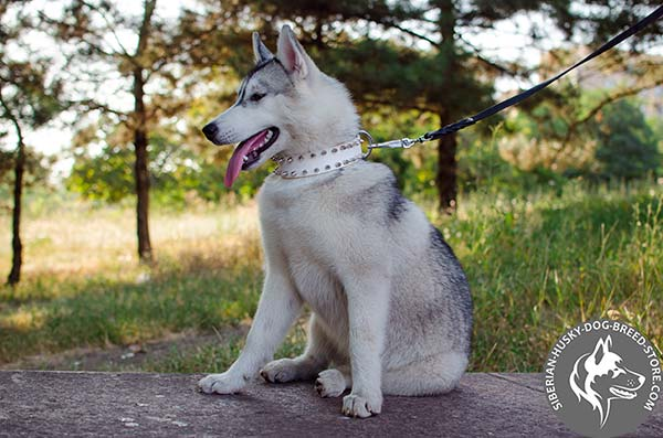 Siberian Husky white leather collar with corrosion resistant spikes for any activity
