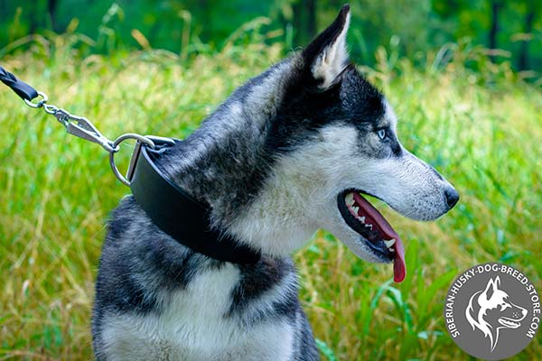 Siberian Husky black leather collar with rust-free nickel plated hardware for daily walks
