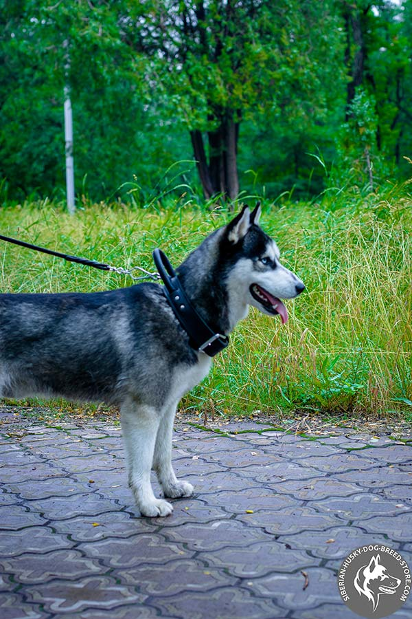Siberian Husky black leather collar with rustless fittings for daily walks