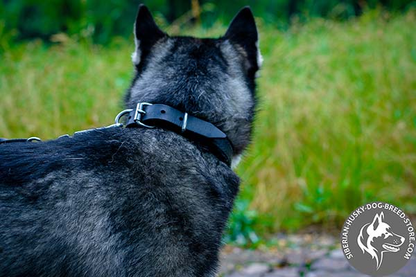 Siberian Husky black leather collar free breathing with traditional buckle for improved control