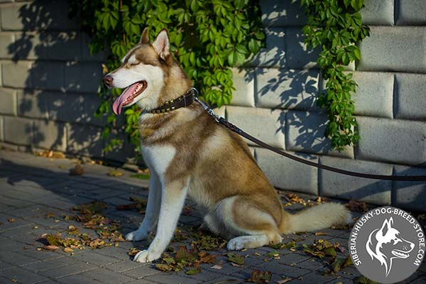 Siberian Husky black leather collar of classic design with studs for basic training