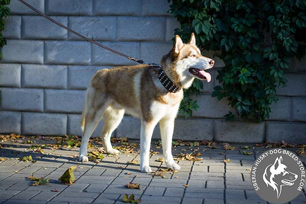 Siberian Husky brown leather collar with rustless hardware for better comfort