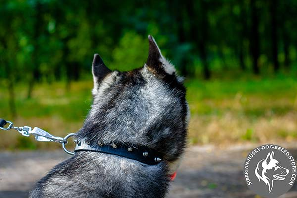 Siberian Husky black leather collar with non-corrosive spikes for any activity
