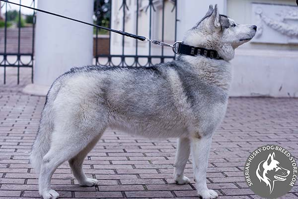 Siberian Husky black leather collar with rust-proof fittings for basic training