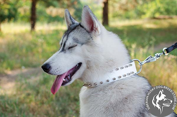 Siberian Husky white leather collar with reliable hardware for quality control