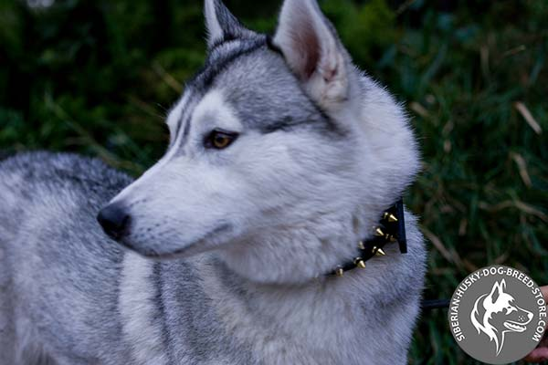 Siberian Husky black leather collar with rust-resistant hardware for basic training