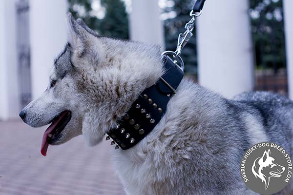 Siberian Husky black leather collar with non-corrosive hardware for basic training