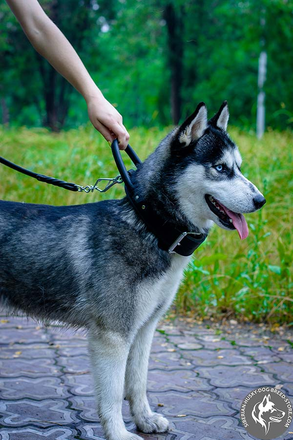 Siberian Husky black leather collar of high quality with d-ring for leash attachment for quality control