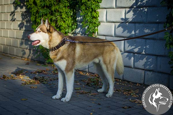 Siberian Husky black leather collar of lightweight material with d-ring for leash attachment for perfect control