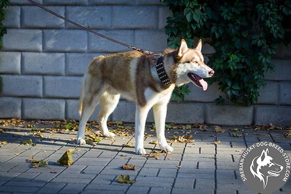 Siberian Husky brown leather collar with corrosion resistant fittings for better comfort