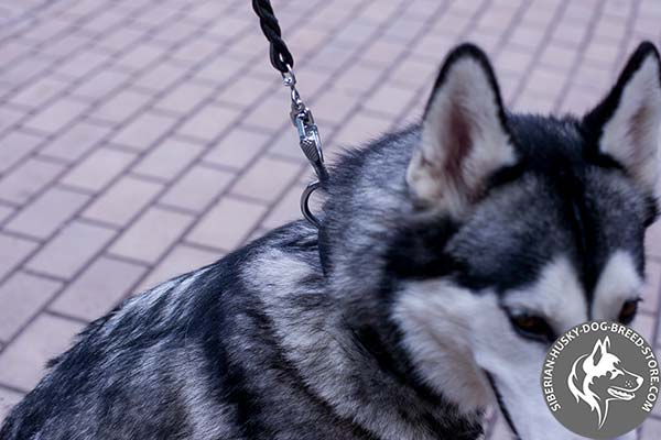 Siberian Husky black leather collar with rustless studs for stylish walks
