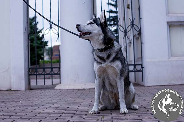 Siberian Husky black leather collar with non-corrosive fittings for walking
