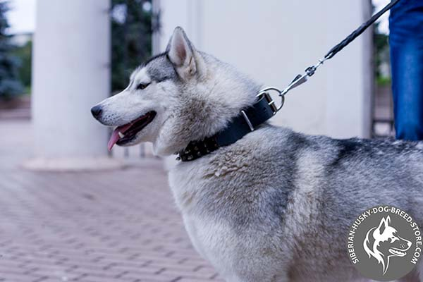 Siberian Husky black leather collar with reliable fittings for any activity