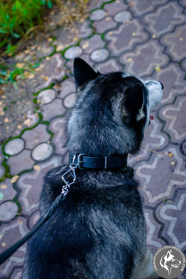 Siberian Husky black leather collar with non-corrosive fittings for improved control