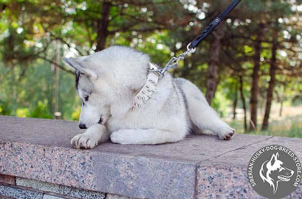 Siberian Husky white leather collar with rust-proof fittings for basic training