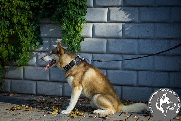 Siberian Husky black leather collar with rust-free hardware for agitation training