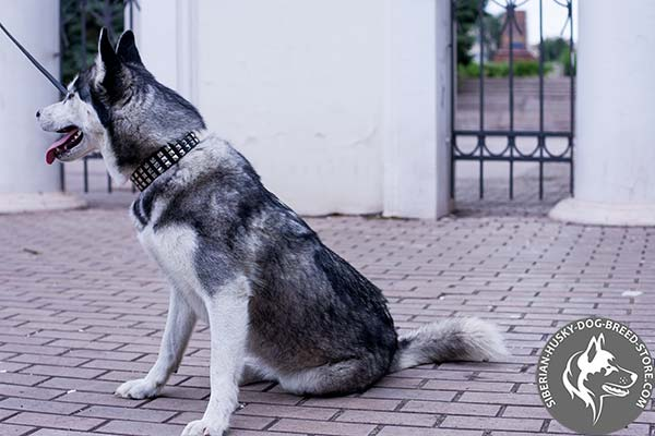 Siberian Husky black leather collar with rust-proof studs for professional use