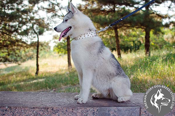 Siberian Husky white leather collar with rust-resistant fittings for quality control