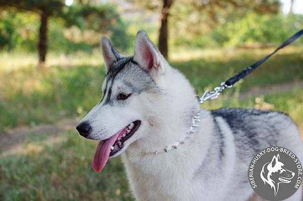 Siberian Husky white leather collar with rustless spikes for perfect control