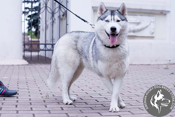 Siberian Husky black leather collar with reliable fittings for daily walks