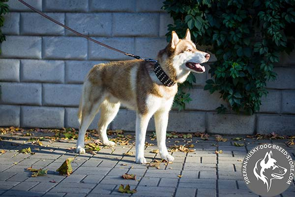 Siberian Husky brown leather collar with rust-resistant hardware for basic training