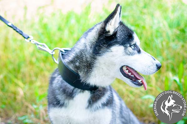 Siberian Husky black leather collar of genuine materials with d-ring for leash attachment for basic training