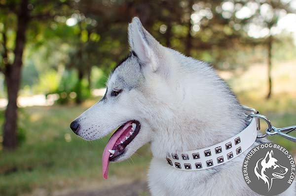 Siberian Husky white leather collar of classic design with studs for basic training