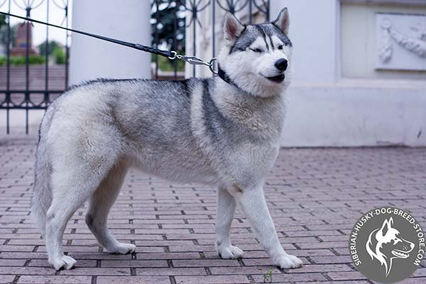 Siberian Husky black leather collar with rust-resistant hardware for improved control